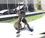 Small Photo #1 French Bulldog Puppy For Sale in HOLLYWOOD, FL, USA
