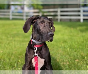 Great Dane Dog for Adoption in CHESTER, West Virginia USA