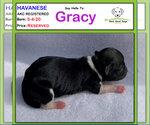 Puppy 3 Havanese