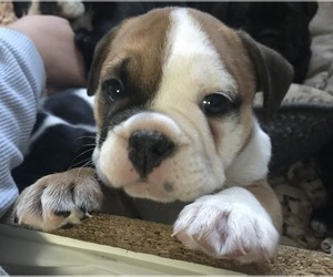 English Bulldogge Puppy for sale in LAKESIDE, CA, USA