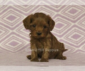 Cavapoo Puppy for Sale in DENVER, Pennsylvania USA
