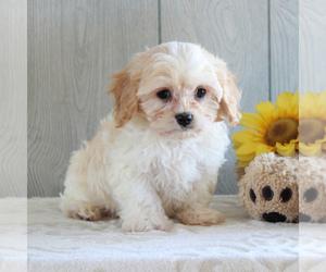 Cavachon Puppy for sale in GORDONVILLE, PA, USA