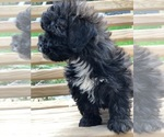 Small #8 Maltese-Poodle (Toy) Mix
