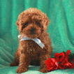 Poodle (Miniature) Puppy For Sale in GAP, Pennsylvania,