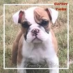 Bulldog Puppy For Sale in SAN ANTONIO, TX, USA