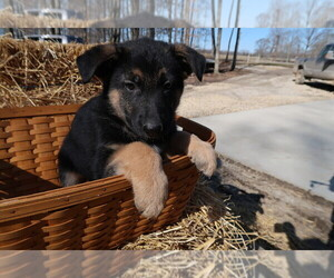 German Shepherd Dog Puppy for sale in BLOOMINGTON, IN, USA