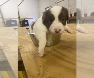 Border Collie Puppy for sale in SAINT JAMES, MO, USA