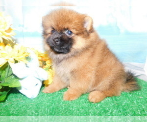 Pomeranian Puppy for Sale in HAMMOND, Indiana USA