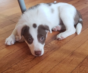 Border Collie Puppy for sale in PHILA, PA, USA