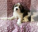 Puppy 4 Cavachon