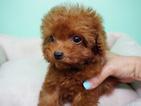 Poodle (Miniature) Puppy For Sale in LA MIRADA, California,