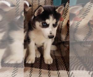 Siberian Husky Puppy for sale in MESKEGON, MI, USA