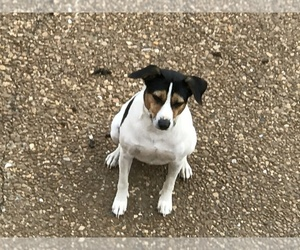 Rat Terrier Dog for Adoption in FRANKLIN, Tennessee USA