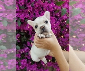 French Bulldog Puppy for Sale in ANTIOCH, California USA