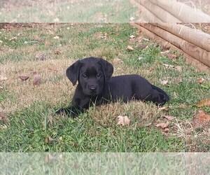 Labrador Retriever Puppy for Sale in JONESBOROUGH, Tennessee USA