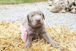 Labrador Retriever Puppy for sale in BUTLER, IN, USA