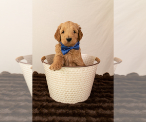 Goldendoodle Puppy for Sale in COCOA, Florida USA