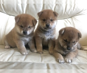 Shiba Inu Dog for Adoption in Taipei, Taiwan Taiwan