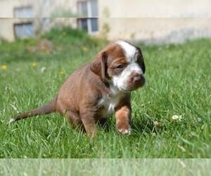 Australian Cattle Dog-Treeing Walker Coonhound Mix Dog for Adoption in LOGAN, Utah USA
