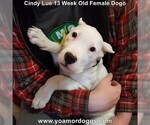 Small Photo #198 Dogo Argentino Puppy For Sale in PINEVILLE, MO, USA