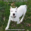 Small Photo #203 Dogo Argentino Puppy For Sale in PINEVILLE, MO, USA
