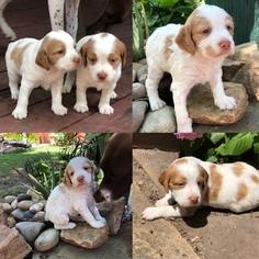 Brittany Puppy for sale in DALLAS, TX, USA