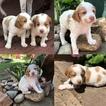Brittany Puppy For Sale in DALLAS, Texas,