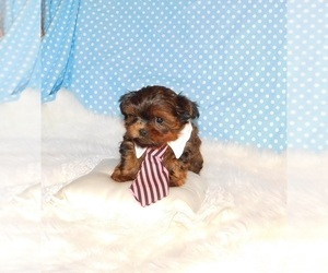 Shorkie Tzu Puppy for sale in WARRENSBURG, MO, USA