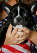 French Bulldog Puppy For Sale in CHARLESTON, SC,
