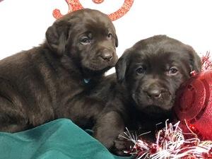AKC Labradors for sale
