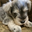 3 beautiful AKC Male mini Schnauzer 5 week puppies