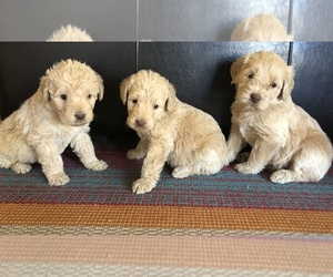 Labradoodle Puppy for Sale in JARRELL, Texas USA