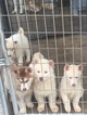 Siberian Husky Puppy For Sale in CLEVELAND, Texas,
