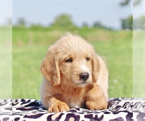 Labradoodle-Poodle (Standard) Mix Puppy for sale in BINO, PA, USA
