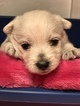 West Highland White Terrier Puppy For Sale in BLUE HILL, NE, USA
