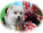 Pomeranian Puppy For Sale in HAMMOND, IN,