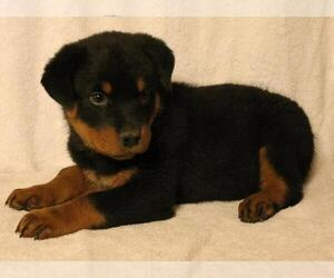 Rottweiler Puppy for Sale in N HIGHLANDS, California USA