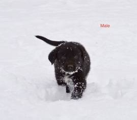 Border Collie-Mc Nab Mix Puppy For Sale in PALMER, AK