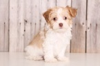 Havanese Puppy For Sale in MOUNT VERNON, OH, USA