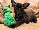 French Bulldog Puppy For Sale near 29414, Charleston, SC, USA