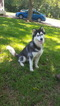 Siberian Husky Dog For Adoption in CENTERVILLE, NC, USA