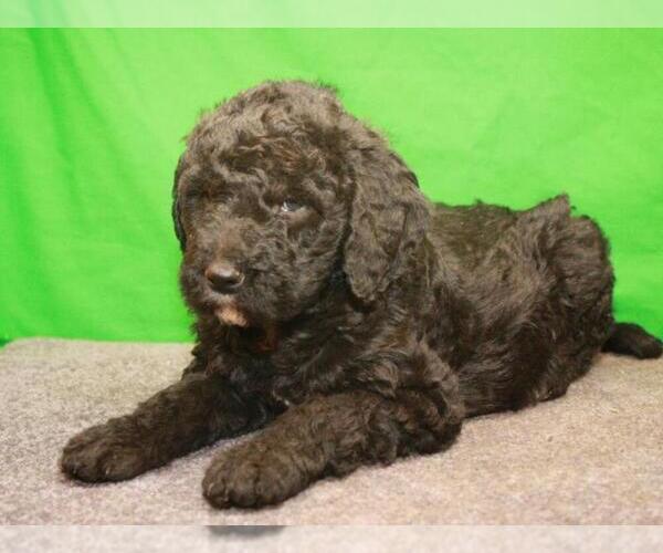 Medium Photo #5 Labradoodle Puppy For Sale in SHAWNEE, OK, USA