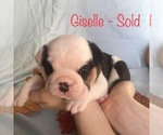 Puppy 6 English Bulldogge
