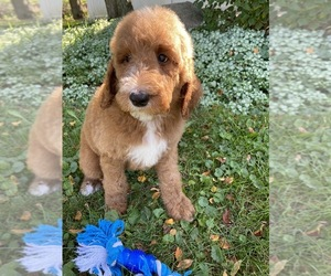Goldendoodle-Poodle (Standard) Mix Dog for Adoption in RICHMOND, Illinois USA