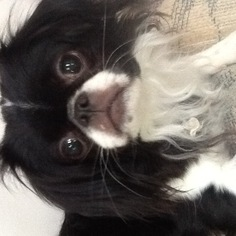 Japanese Chin Puppy For Sale in TURNERSVILLE, NJ, USA