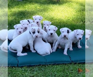 Dogo Argentino Puppy for Sale in FORESTPORT, New York USA