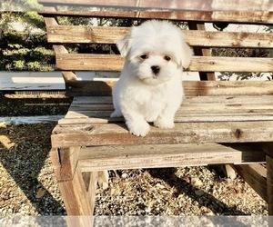 Maltese Dog for Adoption in SANTA CLARITA, California USA