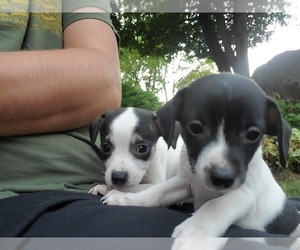 Boston Terrier-Jack Russell Terrier Mix Puppy for sale in SPOKANE, WA, USA