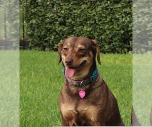 Dachshund-Unknown Mix Dogs for adoption in CYPRESS, TX, USA
