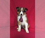 ACA Sheltie Puppy